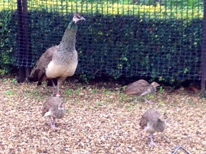 Peachicks4